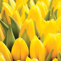 Ubrousky TaT 33x33 cm Yellow Tulips